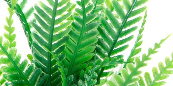 Akvarijné rastlinka papradie mini