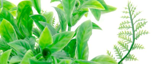 Akvarijná rastlinka Ludwigia zelená
