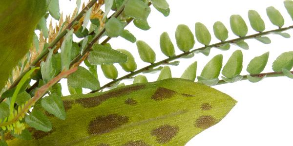 Akvarijní rostlinka Kapradí kámen